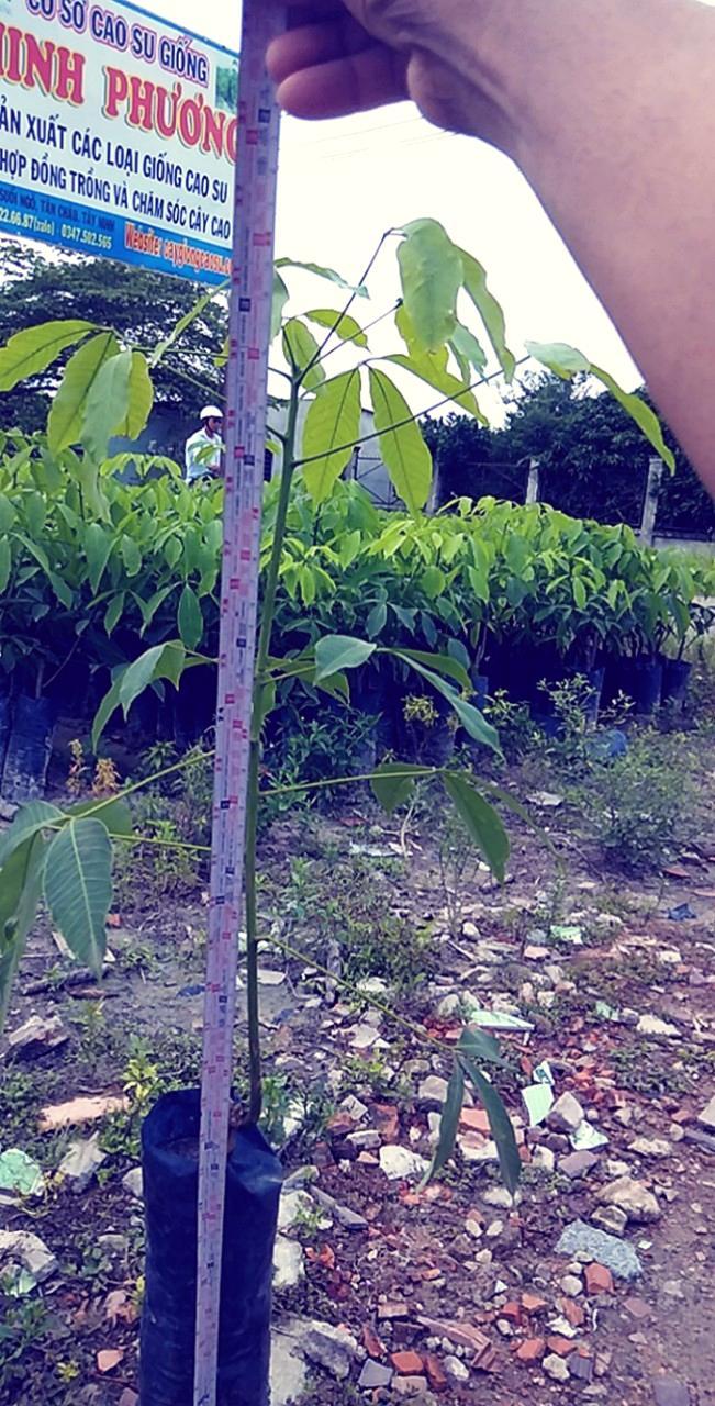 Đo chiều cao cây giống gửi cho khách ở xa