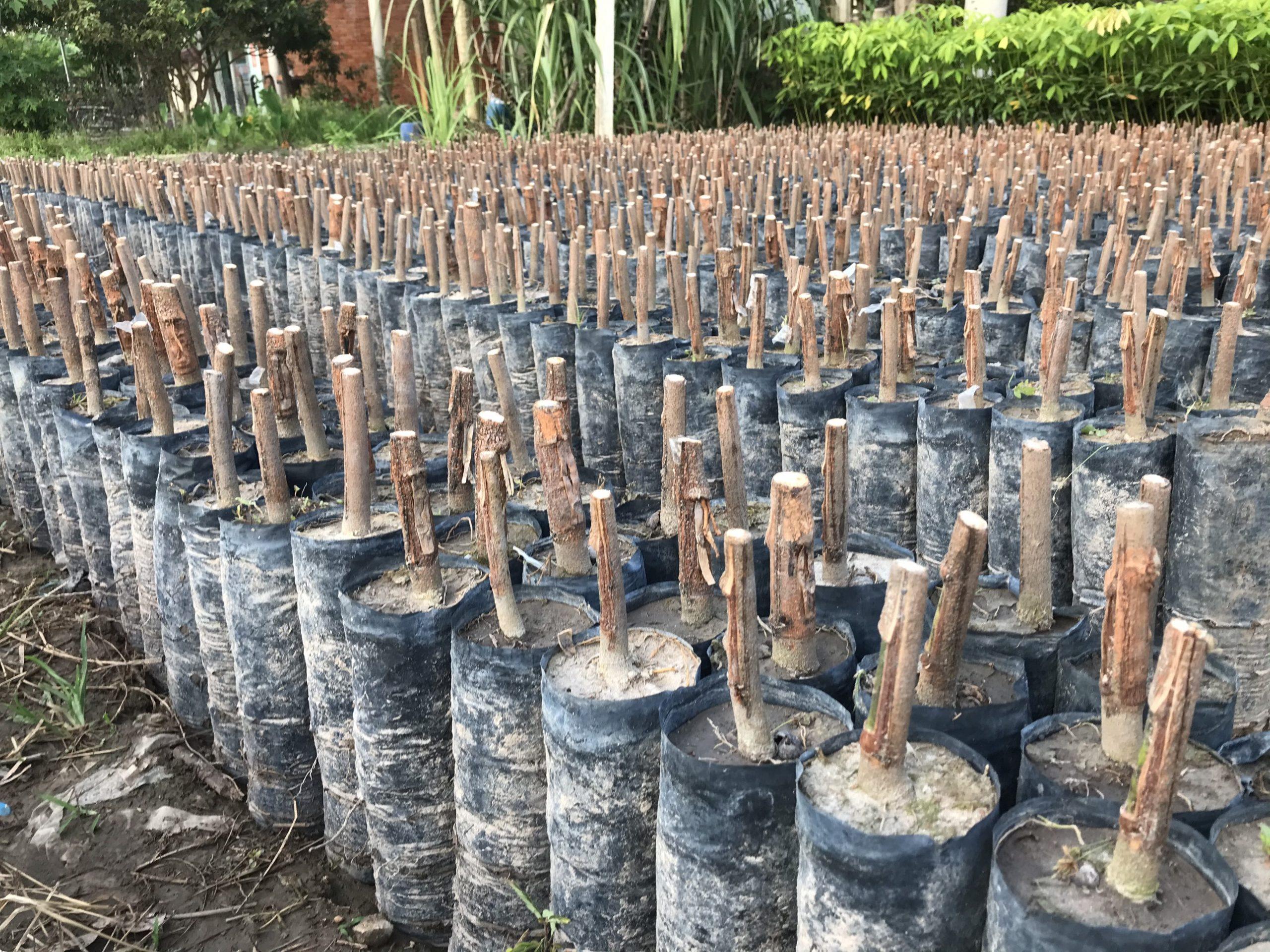 Stump bầu hạt cắt ngọn
