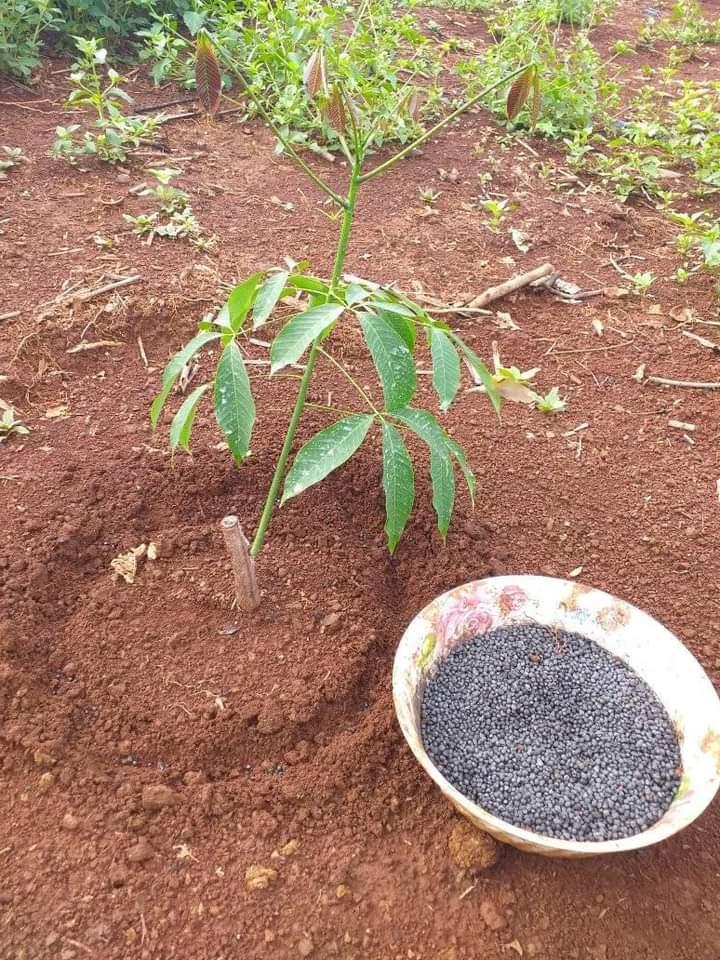 Khách hàng đã trồng được 40 ngày, giống RRIV209